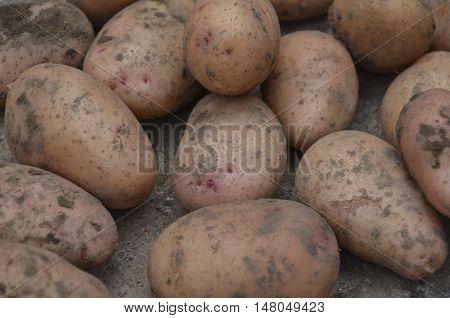 Fresh pink potato dug in the garden.