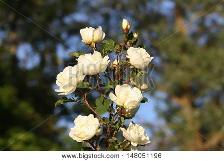 White flowers of briar rose in a summer park. Rose Alba.