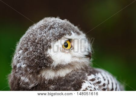 Portrait of snowy owl chick on a green background