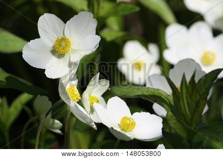 Anemona Vestal beautiful white flowers growing in the park
