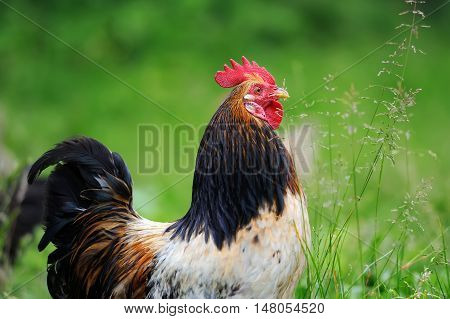 Close up red beautiful rooster in farm