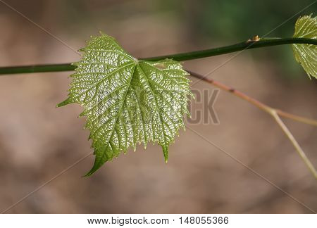 Green wine leaf growing in the garden