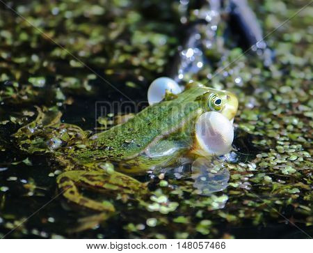 Green frog swimming in the pond with duckweed
