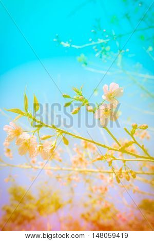Colorful abstract background flower wild himalayan cherry at Chiang Mai Thailand.