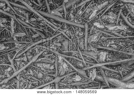 Black and white pattern of wet tree root network on the ground.