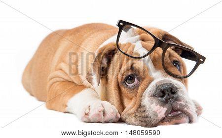 Sleepy English Bulldog Pup