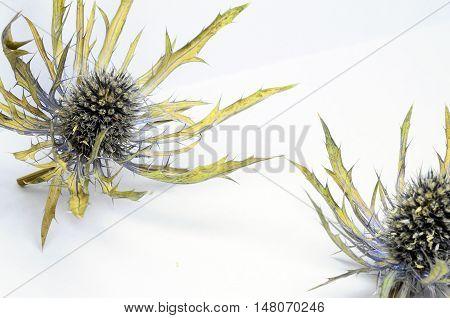 Blue Thistles Flowers