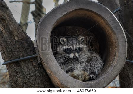 BadgBadger in the hollow of an old tree living in a safari parker in the hollow of an old tree