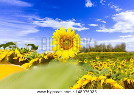 Sunflower blooming sunflower fields background light sun beautiful for the design and background.