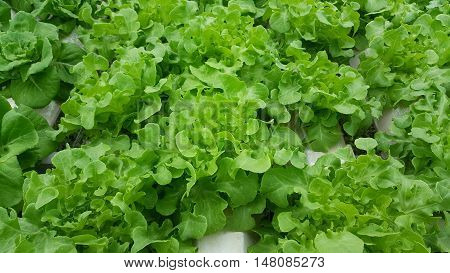 Greens Organic hydroponic growing vegetables without soil