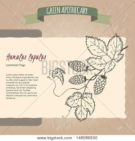 Humulus lupulus aka common hop sketch. Green apothecary series. Great for traditional medicine, gardening or cooking design.