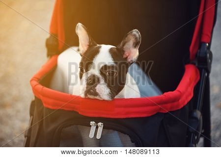 Portrait of Adorable French Bulldog on the pushcart ot stroller with sunset light