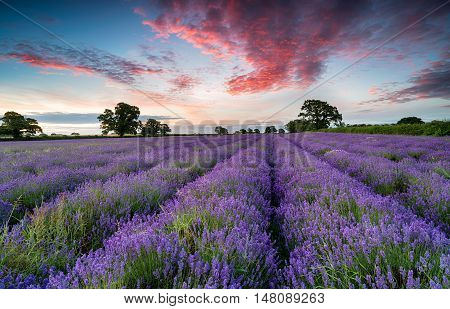 A field of lavender at sunrise in Somerset