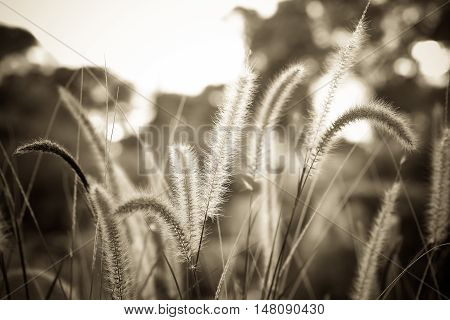 Fountain grass or Feather grass close up sepia vintage tone