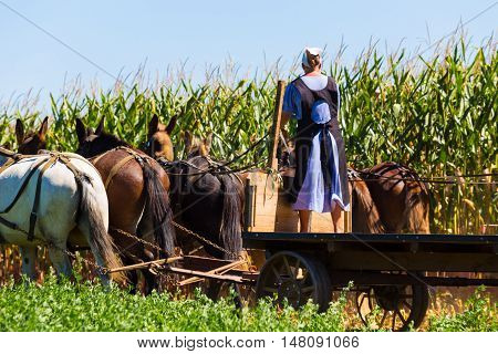 Witmer PA - September 12 2016: An Amish woman drives a team of mules on a wagon in a corn field in Lancaster County.