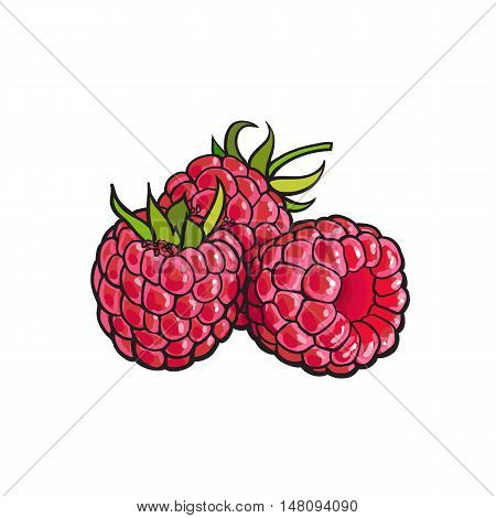 Ripe red raspberry, realistic drawing vector illustration isolated on white background. Three ripe raspberries on white background, botanical illustration, design element