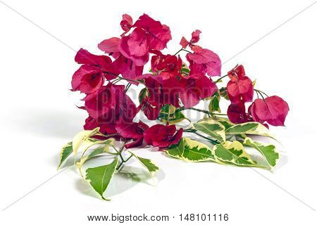Stem Of Dark Pink Bougainvillea Flowers With Variegated Leaves