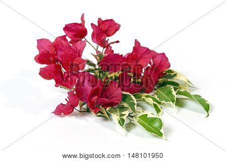Sprig Of Dark Pink Bougainvillea Flowers With Variegated Leaves