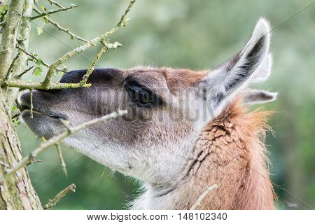 Llama grazing leaves from thorn bush. Domesticated camelid delicatly grazing leaves from hawthorn tree avoiding thorns