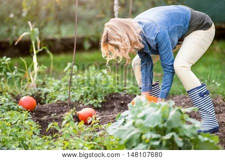 Beautiful young blond woman in denim shirt working in her garden harvesting pumpkins. Autumn nature.