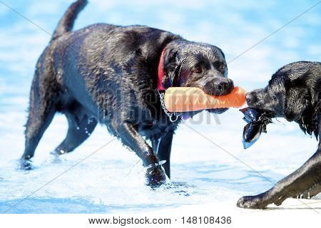 Two dogs Labrador Retriever both pulling a toy in swimming pool blue water