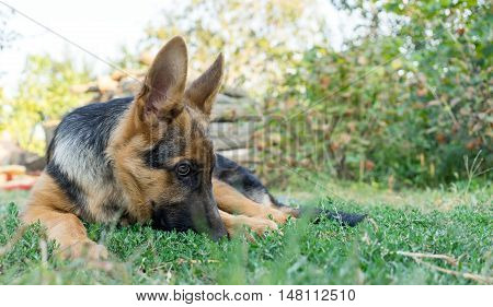 German shepherd dog looking aside and lying on the grass waiting for her owner