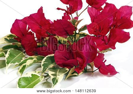 Close Up  Pink Bougainvillea Flowers With Variegated Leaves