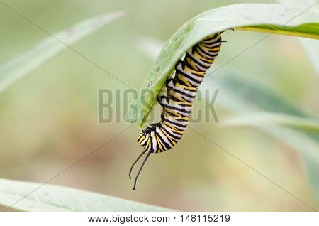 Monarch caterpillar eating a milkweed plant in late summer..