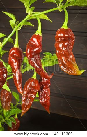 Spicy Hot Bhut Jolokia Ghost Peppers. Domestic cultivation extra hot chilli burn. Ghost Peppers on a Background. Capsicum Chinenses.