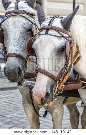 VIENNA AUSTRIA - JUNE 24 2016:  Head portrait of two horses in traditional Vienna carriage harness Austria.