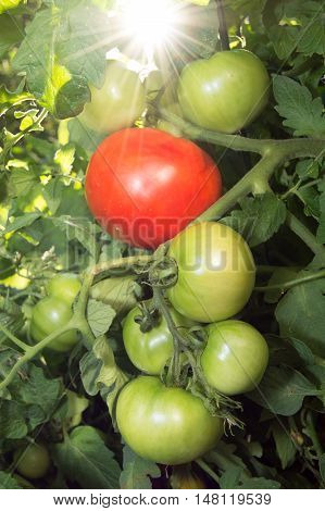 Ripe and Unripe 'Celebrity' Tomatoes on the Vine