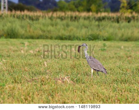 Blue heron (Ardea cinerea) enlarge hare hunting in the reeds.