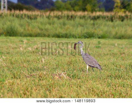 Blue heron (Ardea cinerea) enlarge hare hunting in the reeds.