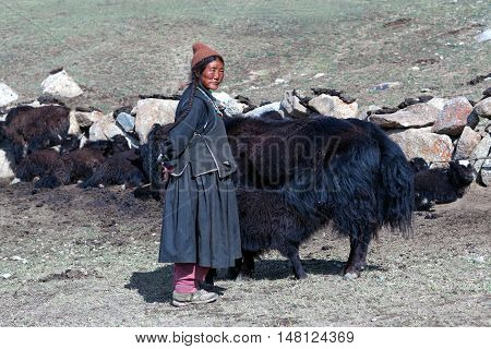 LADAKH, INDIA - JUNE 15, 2012: Tibetan woman in national clothes standing near her yaks on pasture in Ladakh, Jammu and Kashmir, North India