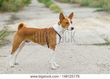 Full body portrait of Basenji dog .