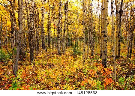 View Through An Aspen Forest With Vibrant Autumn Leaves, Alberta, Canada