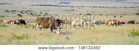 herd of cows in a field on feeding