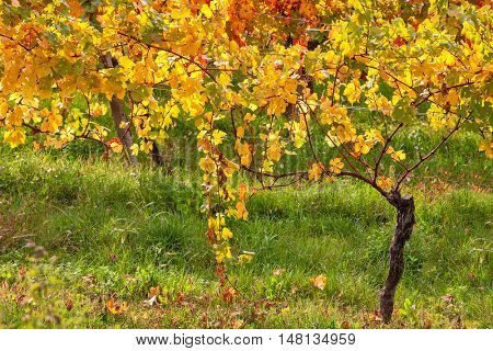 Colorful autumnal vineyard in Piedmont, Northern Italy.