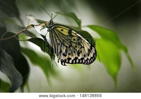 Colorful exotic Butterfly sitting on a Leaf Close up