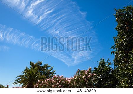 A chem trail dissipates in an Arizona sky over oleanders palms and citrus trees.