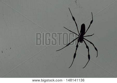 Silhouette of a large black scary spider