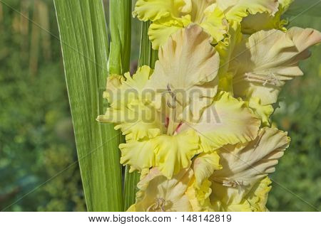 Yellow Gladiolus Flower