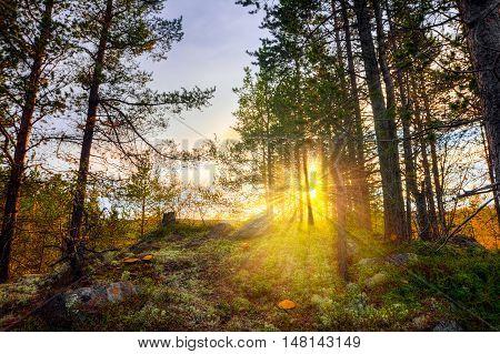 Autumn tundra at sunset.Sun rays through the trunks of pine trees