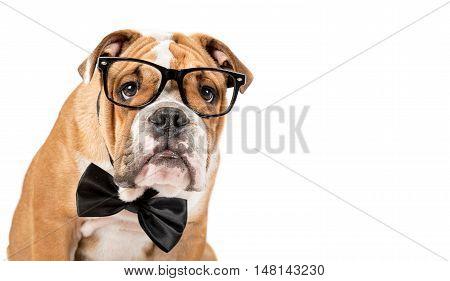 Smart English Bulldog