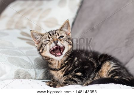 Kitten yawning looking all fierce lying on a couch