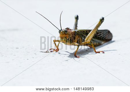 Giant Tropical Grasshopper