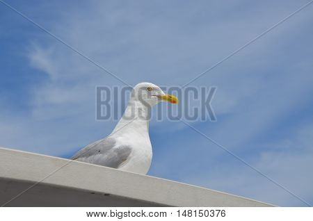 Seagull in the summer time in Maine sitting on top of a boat.