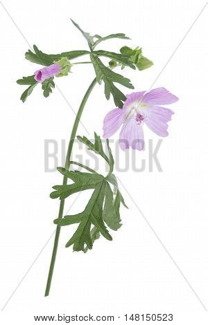 Common Mallow also known as High Mallow,