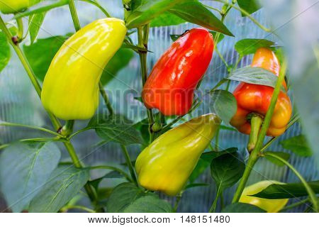 Ripe tomatoes growing in garden. Cultivated fresh vegetables. Tomatoes in vegetable garden.