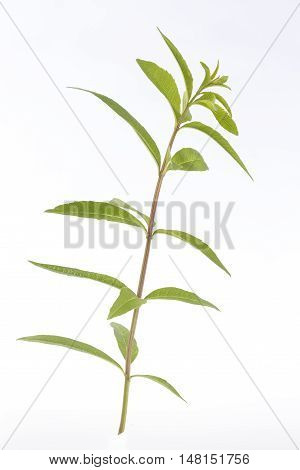 lemon grass for herbal tea or medicinal remedy
